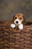 Beagle puppy in basket Royalty Free Stock Photos