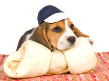 Beagle puppy with blue cap and huge bone Royalty Free Stock Photography