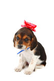 Beagle puppy with a bow on her head Stock Image