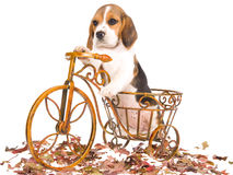 Beagle puppy in brown bicycle Royalty Free Stock Photos