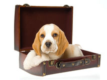 Beagle puppy in brown suitcase Stock Image