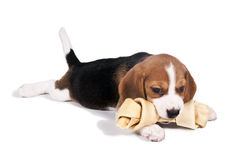 Beagle puppy chewing a bone stock photography