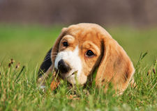 Beagle puppy chewing a stick in the grass Stock Photo