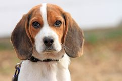 Beagle Puppy with Collar Stock Photos