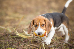 Beagle puppy with corn - Pet adventures Royalty Free Stock Photo