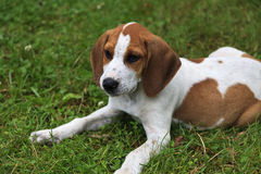Beagle Puppy. Cute brown and white beagle hound dog puppy sitting in the grass stock photo