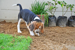 Beagle puppy dig the ground. Beagle puppy dig the ground on the lawn royalty free stock photos