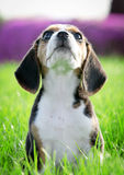 Beagle puppy dog. Pedigree beagle dog playing outide in the grass Royalty Free Stock Photography