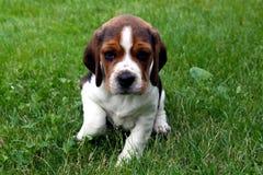 Beagle puppy dog Royalty Free Stock Photo
