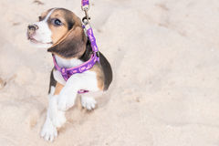 Beagle puppy dog on the beach of tropical island Bali, Indonesia. Stock Photography