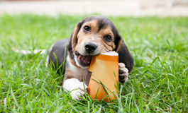 Beagle puppy dog chews paper cup on grass. Beagle puppy dog sits on grass and enjoys chewing up paper cup Stock Image