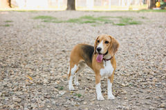 Beagle puppy dog in countryside Royalty Free Stock Photo