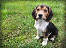 Beagle puppy dog on grass sit stay. Beagle puppy dog with big floppy ears is at rest sitting on the green grass Stock Photos