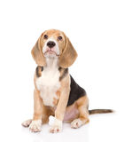 Beagle puppy dog looking up. isolated on white background Royalty Free Stock Images