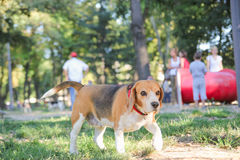 Beagle puppy dog in park with hound position paws Stock Image