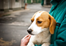 Beagle puppy in dog pound. In a dog pound there is a lot of beautiful dogs, waiting for happier life Royalty Free Stock Photography