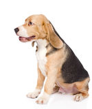 Beagle puppy dog sitting in profile. isolated on white Stock Photography