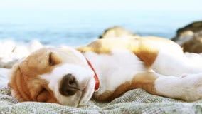 Beagle puppy dog sunbathing on the sea coast stock footage