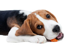 Beagle puppy eating Stock Images