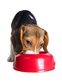 Beagle puppy eating Royalty Free Stock Image
