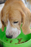 Beagle puppy eating animal food in bowl Royalty Free Stock Image