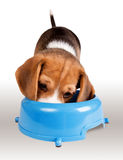 Eating beagle puppy portrait Royalty Free Stock Image