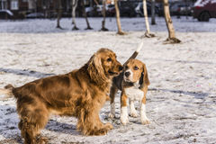 Beagle puppy and english cocker spaniel Royalty Free Stock Photos