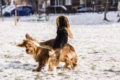 Beagle puppy and english cocker spaniel stock image