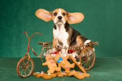 Beagle puppy with flapping ears. In miniature delivery bike on green background stock images