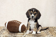 Beagle Puppy With Football Stock Image