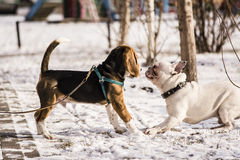 Beagle puppy and French Bulldog Royalty Free Stock Photo
