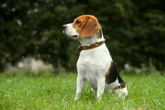 Beagle puppy on grass Stock Photo