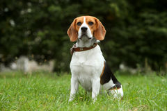 Beagle puppy on grass Royalty Free Stock Photo
