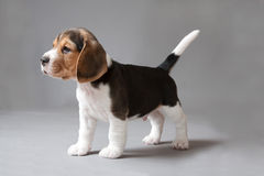 Beagle puppy on gray background stock images