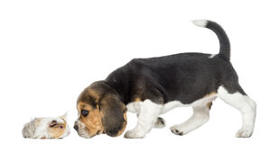 Beagle puppy and guinea pig getting to know each Stock Image