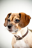 Beagle puppy headshot Stock Photography