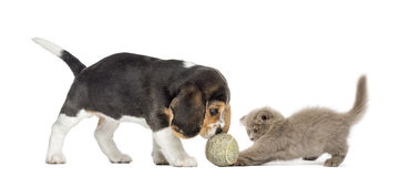 Beagle puppy and Highland fold kitten playing. With a ball, isolated on white royalty free stock photography