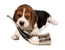 Beagle puppy with a horn Stock Photos