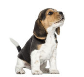 Beagle puppy howling, looking up, isolated