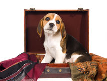 Beagle puppy inside brown suitcase Stock Photo