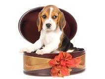 Beagle puppy inside round gift box Royalty Free Stock Photos