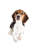 Beagle puppy isolated on white Royalty Free Stock Photo