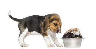 Beagle puppy looking at his bowl full of rabbits, Royalty Free Stock Photography