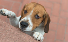 Beagle puppy. Looking upwards stock photos