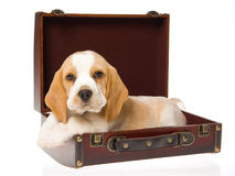 Beagle puppy lying in brown suitcase Stock Image