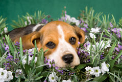 Beagle puppy lying in field of lavender Stock Photography