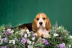 Beagle puppy lying in field of lavender. On green background royalty free stock image