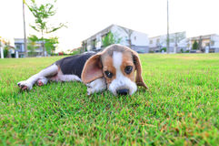 Beagle puppy lying. Stock Images