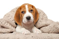 Beagle puppy lying under the blanket royalty free stock photo