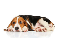 Beagle puppy lying on white background stock photo